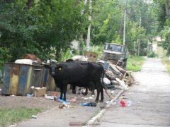 Несъедобные коровы