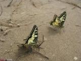 Грушинские бабочки